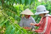 Đồng Nai: Vì sao nông dân ở xã trồng nhiều cà phê nhất vừa hái, vừa chặt luôn cả cây?