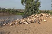 Long An: Ám ảnh dịch cúm gia cầm từ đàn vịt chạy đồng