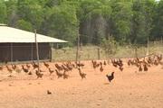 Hiệu quả từ ứng dụng công nghệ sinh học vào chăn nuôi gà