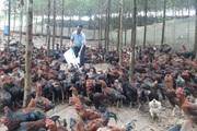 """Bắc Giang: """"Bắt"""" đàn gà khổng lồ leo đồi kiếm ăn mỗi ngày, một ông nông dân huyện Yên Thế thu ngay 5 tỷ đồng"""