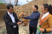 Mô hình nuôi gà đẻ cực hiệu quả, giúp bà con dân tộc ở Pá Lau thoát nghèo