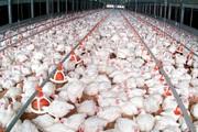 Tổ hợp chế biến thịt gà lớn nhất Đông Nam Á: Xuất khẩu lô gà đầu tiên