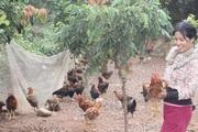 Tháo nút thắt khâu tiêu thụ gà ở Hải Dương