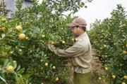 """Quảng Nam: Cận Tết rồi mà nông dân trồng quất như """"ngồi trên lửa"""", thấp thỏm nỗi lo này"""