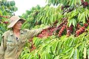 Công ty TNHH MTV Cà phê Ia Grai: Sản xuất tốt, đời sống người lao động nâng cao