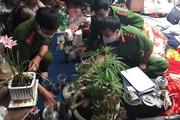 Lâm Đồng: Một năm phát hiện hơn 800 cây cần sa trồng trái phép