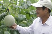 """Hà Nam: Nông dân cùng doanh nghiệp """"bắt tay"""" trồng dưa lưới thu lãi cao"""