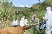 Sơn La: Tiêu hủy 64 con bò bị bệnh viêm da nổi cục