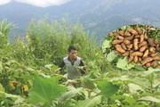"""Chàng trai 9X người Mông trồng """"cây đại bổ"""", ai cũng tưởng khoai lang mà bán đắt, """"bỏ túi"""" đều đều trăm triệu mỗi năm"""