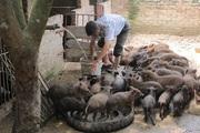 Vĩnh Phúc: Nuôi thứ lợn đẻ khỏe, ăn tạp, mặt xấu, ông nông dân này phát tài