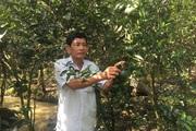Vĩnh Long: Cả xóm cất nhà tường nhờ trồng cam trái vụ