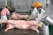 Giá heo hơi hôm nay 17/3: Vẫn neo khá cao, cung thịt lợn giảm 10%