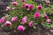 Chiêm ngưỡng vườn hồng cổ hơn nghìn gốc ở xứ mường