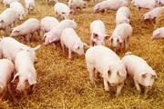"""Giá heo hơi hôm nay 6/4: Vẫn cao, 15 DN chưa đủ sức """"can thiệp"""" đến giá lợn?"""