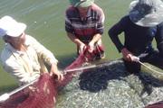 TT-Huế: Khốn khổ, 1.200 tấn tôm nuôi trên cát chờ...giải cứu