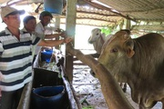 Nuôi loài bò 3B to bự nở rộ ở Phú Yên, lái cứ vào nhà hỏi bán chưa?