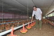 Giá gia cầm hôm nay 26/3: Thủ tướng ký chỉ thị khẩn bảo vệ người chăn nuôi