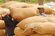 Thị trường lúa gạo sôi động trở lại
