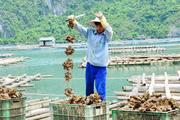 Dịch Covid-19: Quảng Ninh kêu gọi TKV tiêu thụ ngao, hàu cho ngư dân