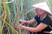 Làng trồng cỏ dại, bán củ đắt tiền, bán lá giá 1.000-2.000 đồng/kg