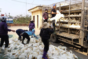Gà, vịt đổ về Hà Nội tăng gấp đôi: Còn 500 triệu con, lo gì thiếu