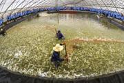 Cơ hội nào cho ngành tôm trước dịch Covid-19