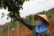 Triển vọng phát triển cây chanh leo ở Chiềng Sung