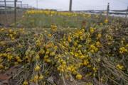 Hà Nội: Nông dân trồng hoa xót xa bỏ ruộng hoang chờ qua dịch Covid-19