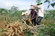 Giá sắn tăng cao, nông dân hồ hởi thu hoạch