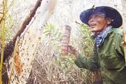 Thợ gác kèo ong rừng U Minh tiết lộ cách làm mắm ong non lạ miệng