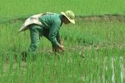 Vì an ninh lương thực, bảo vệ tốt trên 1 triệu ha lúa Đông Xuân ở các tỉnh phía bắc