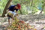 Ngành điều gặp hạn vì dịch Covid-19, nông dân không buồn đi mót quả