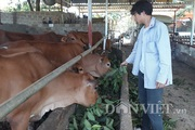 LẠ MÀ HAY: Chăn nuôi bò, cho bò ăn lá ổi và cái kết bất ngờ
