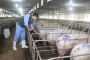 Đầu tư nuôi lợn - miếng bánh béo bở