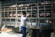 Quý IV năm 2020 sẽ chủ động được lợn giống cho sản xuất