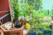 Chơi bonsai mini – thú vui tao nhã