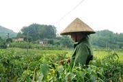 Giá ớt bấp bênh, nông dân Lạng Sơn đứng ngồi không yên