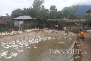 Lai Châu: Nuôi 700 con chạy lạch bạch, kêu cạc cạc sáng dậy mỏi tay nhặt trứng
