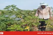 Trồng sung Mỹ - mô hình mới của nông dân xã Khánh Hòa