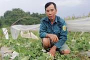 Hòa Bình: Trồng dưa lê Hàn Quốc, trái nhìn đã sang mà bán thì đắt hàng