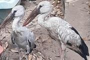 Nghệ An: Phát hiện cặp chim lạ, nghi nằm trong Sách đỏ