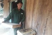 Lai Châu: Bắt ong rừng hung dữ về nuôi, không tốn công chăm mà mật vẫn chảy đều