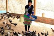 Nuôi gà đen bản địa cho thu nhập hơn 100 triệu đồng mỗi năm