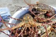 Thả lưới ở rạn san hô chết, ai ngờ trúng đậm mẻ cá chuồn bay, tôm hùm biển