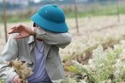 Người nông dân khóc ròng vì mất trắng vụ thu hoạch do sâu tơ phá hoại