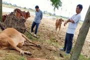 Thanh Hóa: Dân hoang mang, phẫn nộ khi 4 con bò đột nhiên sùi bọt mép lăn ra chết