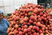 Chuyên gia Nhật sang Việt Nam giám sát xuất khẩu vải thiều
