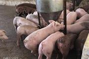 """Giá heo hơi hôm nay 5/5: Các """"ông lớn"""" công bố lãi khủng từ giá lợn"""