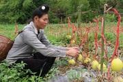 Sơn La: Lạ, vườn dưa lê chết khô, trái vẫn treo lủng lẳng vàng tươi