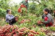 Trung Quốc được mùa vải thiều, Việt Nam tăng tiêu thụ nội địa